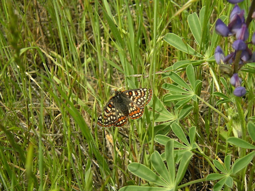 Picture 1.  Bay checkerspot butterfly (Photo by Jason Yakich)
