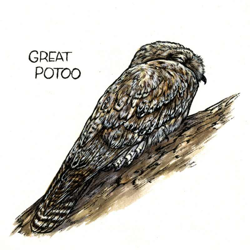 3-Great Potoo.jpg