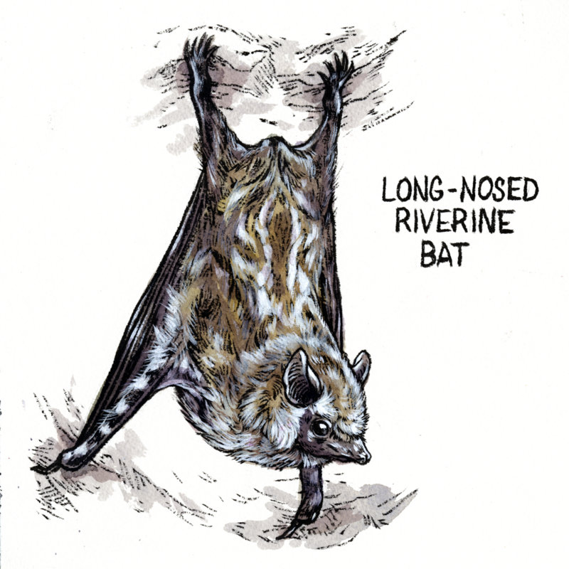 4-Long-Nosed Riverine Bat.jpg