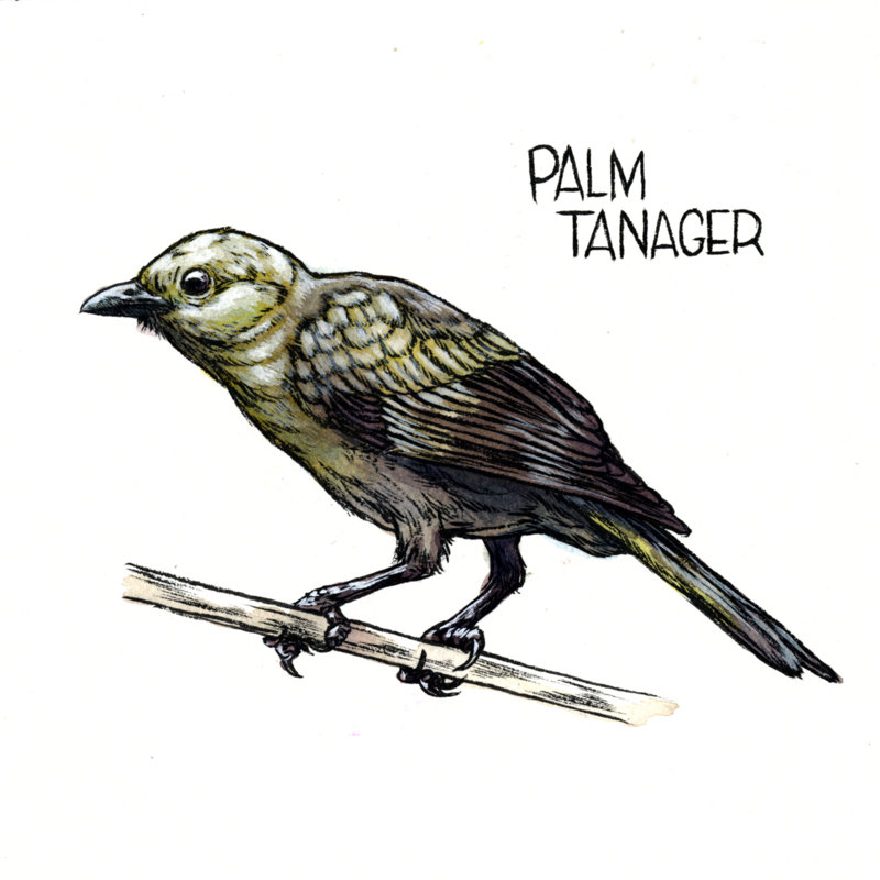 6-Palm Tanager.jpg