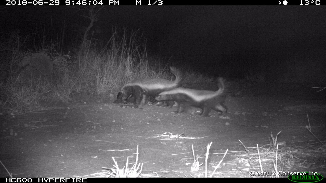 Honey badger pair-2018-07-01-05-14-39 Nov 30, 2018 at 5-39 PM.jpg