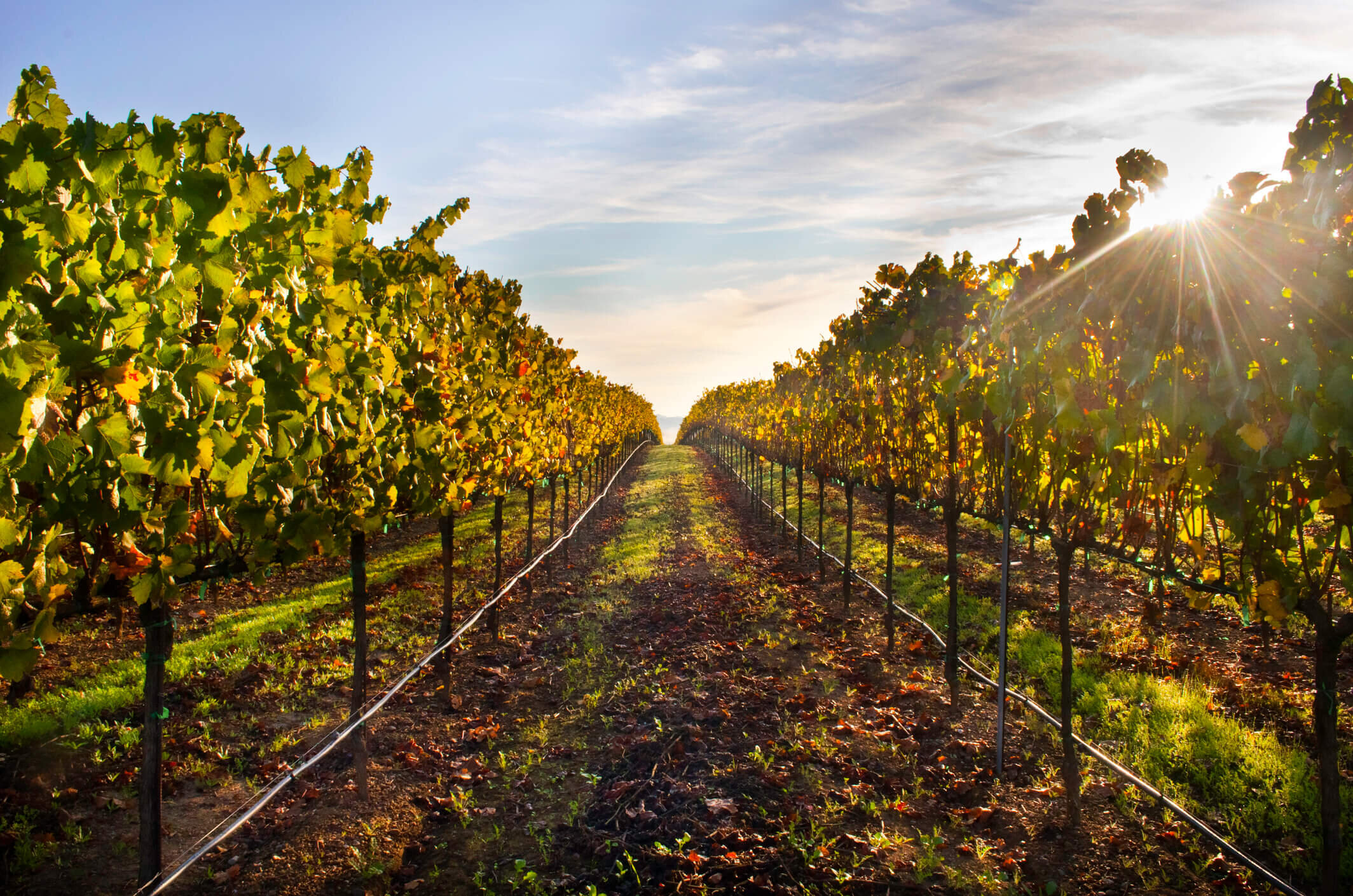 Napa Valley vineyards are an enchanting place to paint.