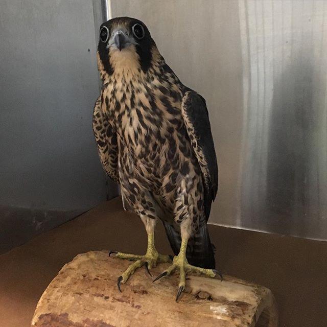 Peregrine falcon at the rehabilitation center in Manhattan.