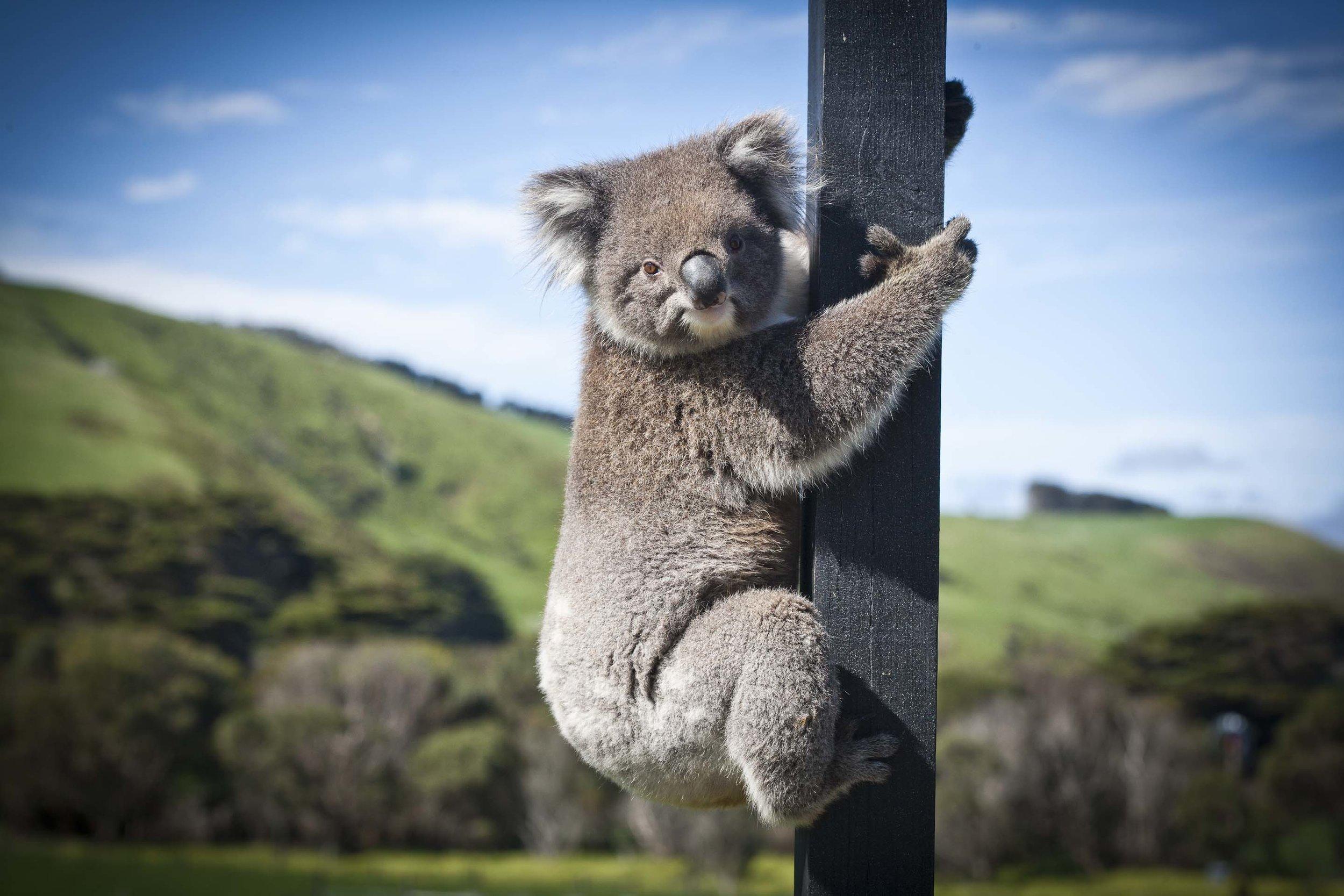 Koala Bear at Chi Medicinal Farm Pose 1