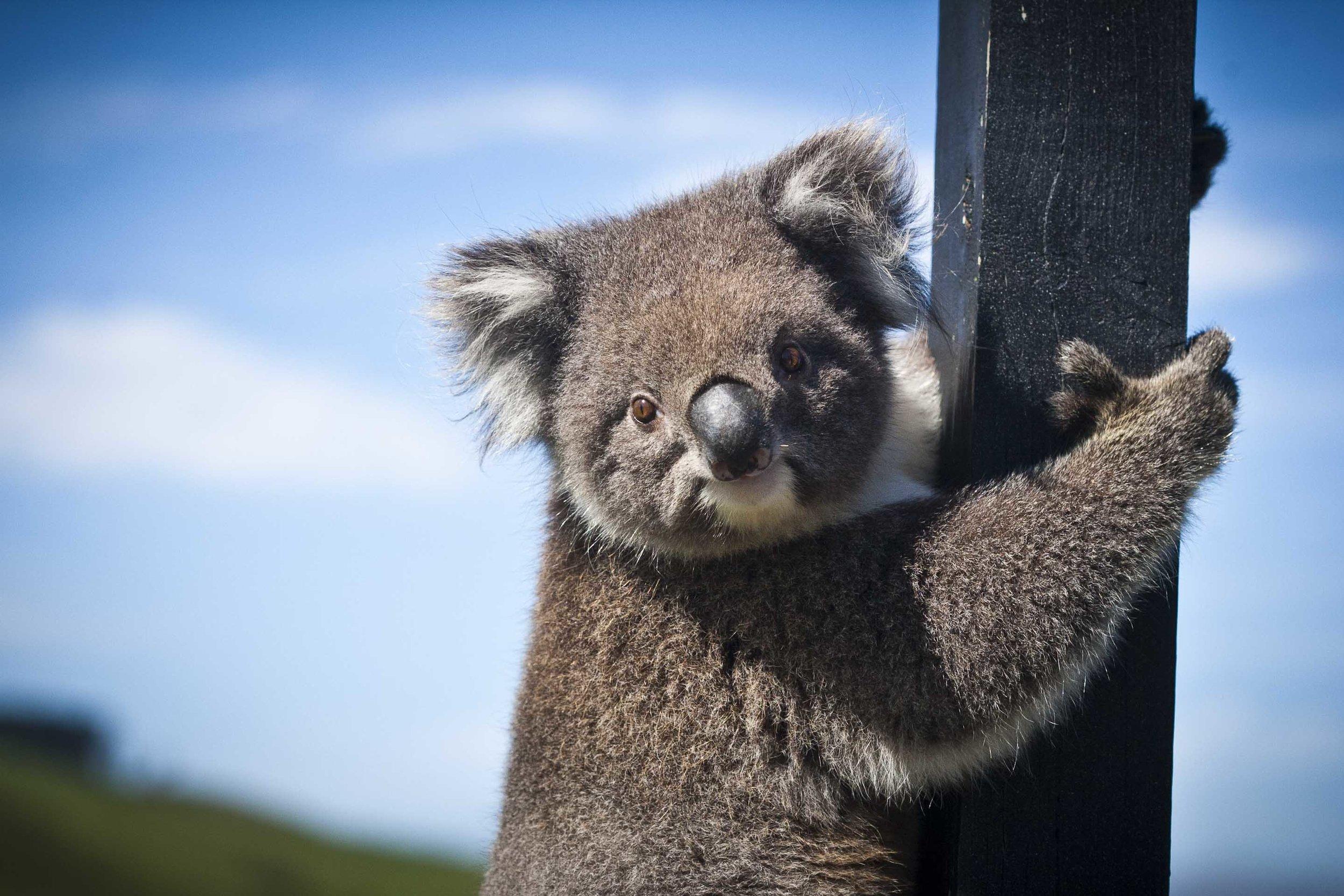 Koala Bear at Chi Medicinal Farm Pose 2