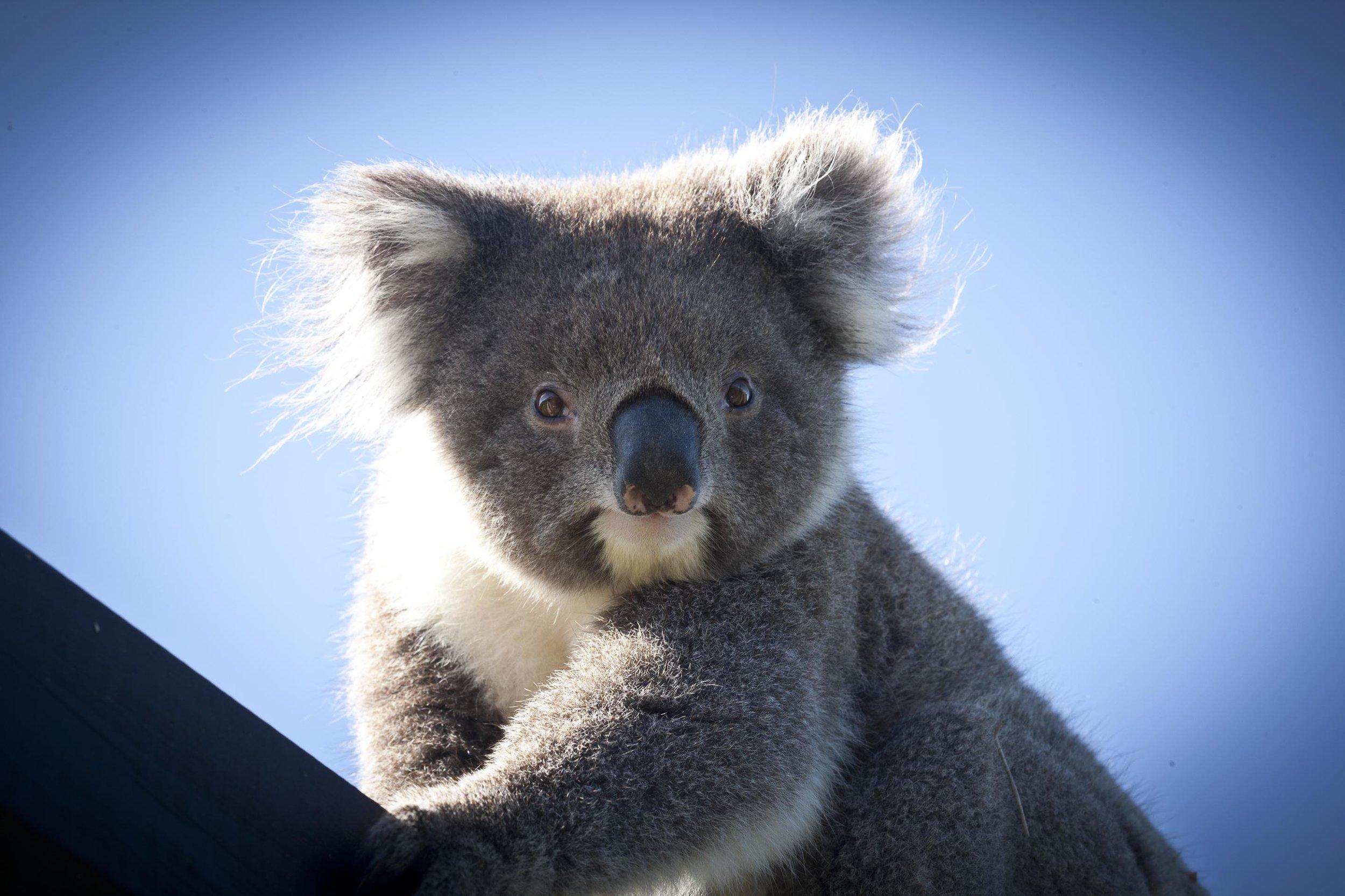 Koala Bear at Chi Medicinal Farm Pose 3