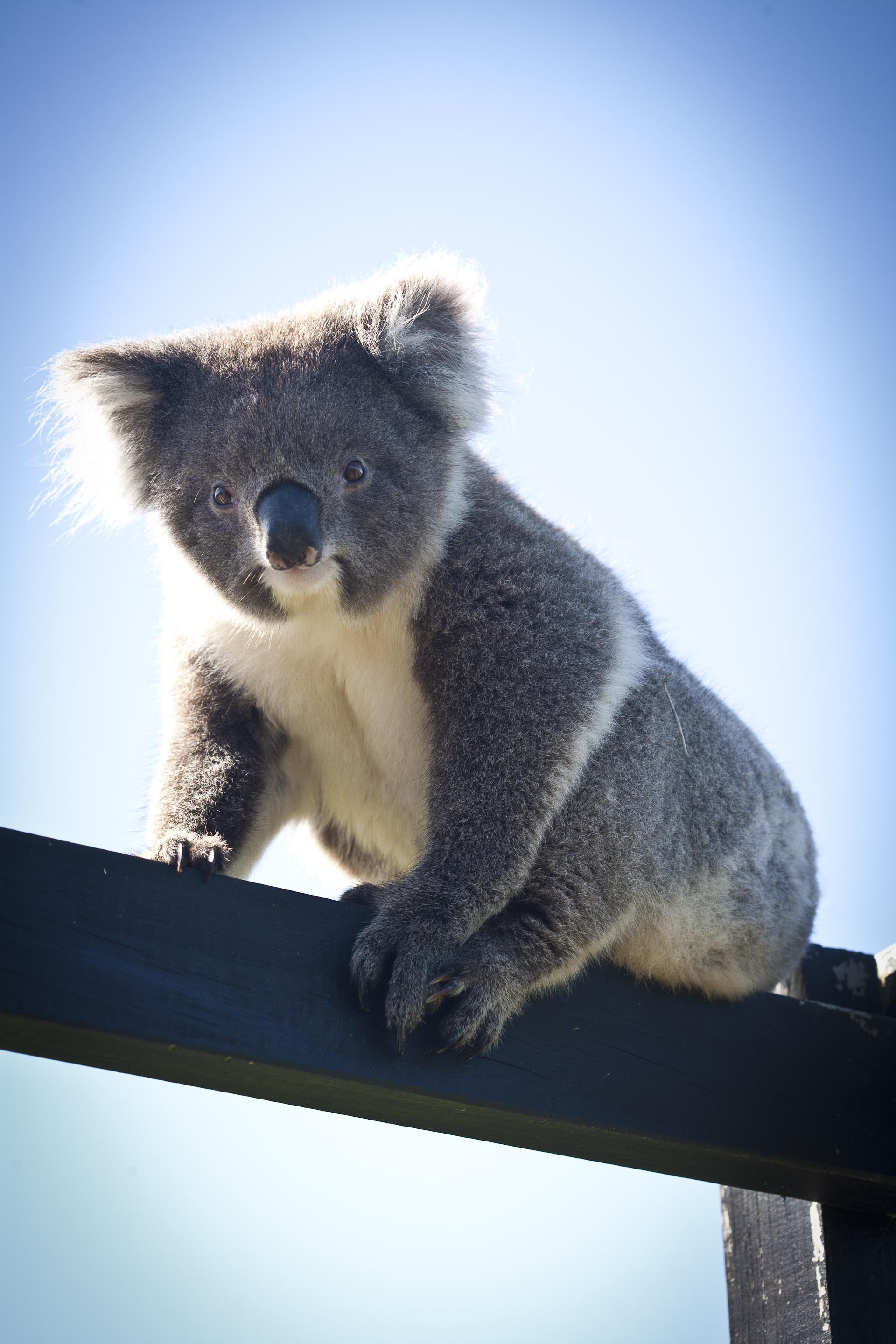 Koala Bear at Chi Medicinal Farm Pose 4
