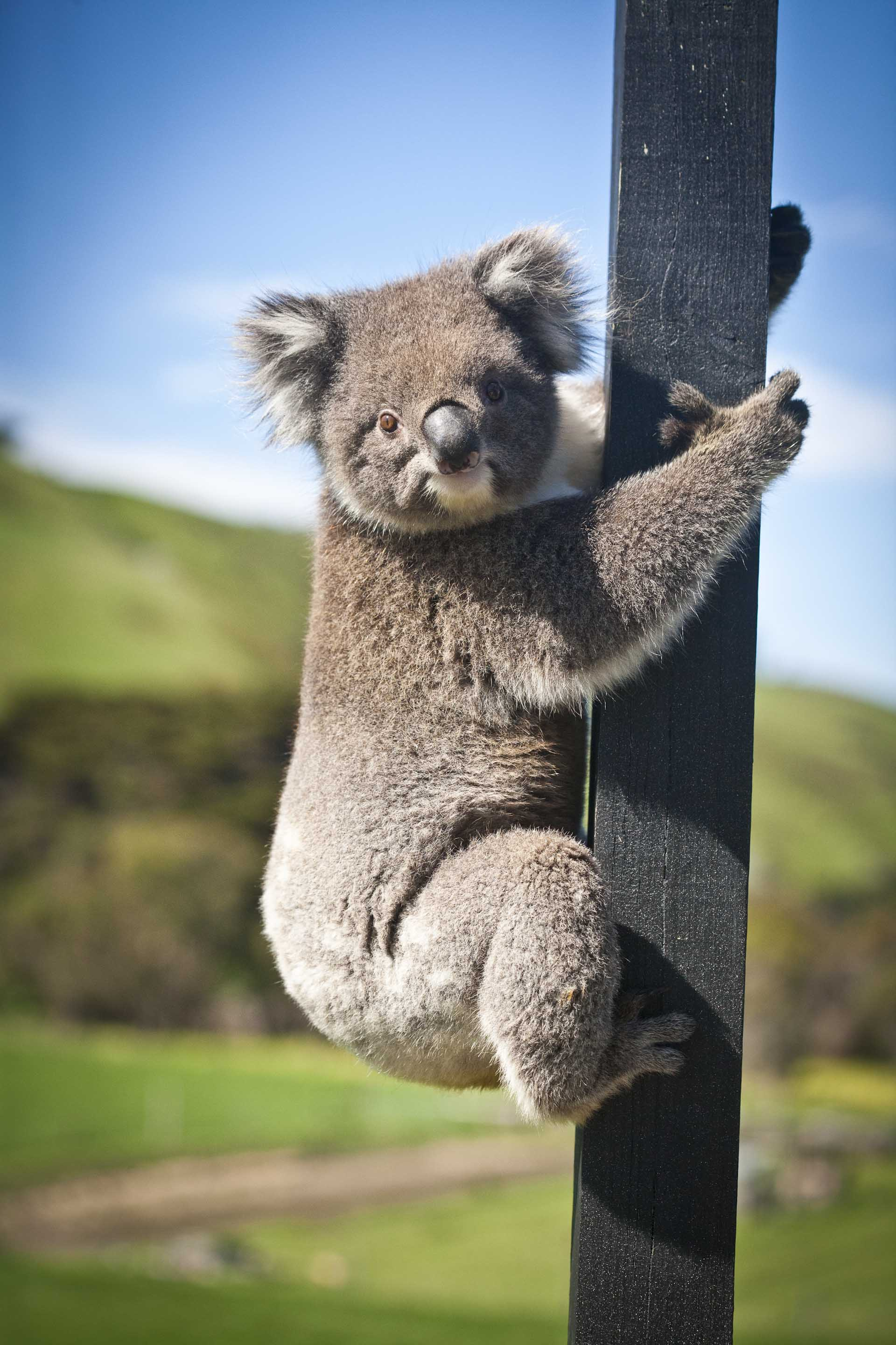 Koala Bear at Chi Medicinal Farm Pose 6