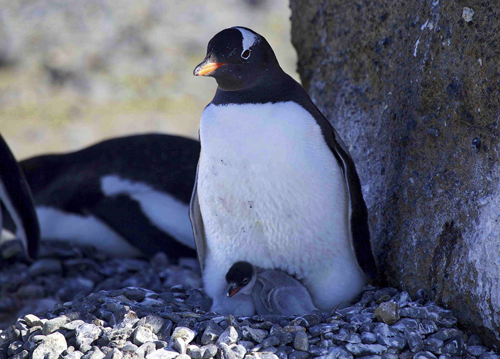 Antarctic Gentoo Penguin with chick. Photo: Dr. Glenn Singleman