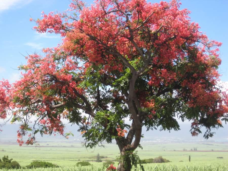 hawaiian-shower-tree