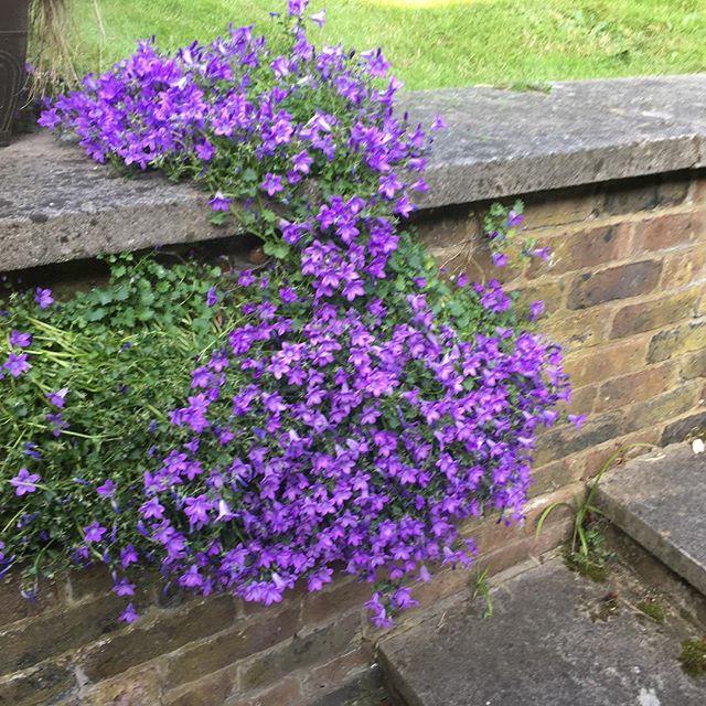 Lovely bit of colour in the garden 💜🌿