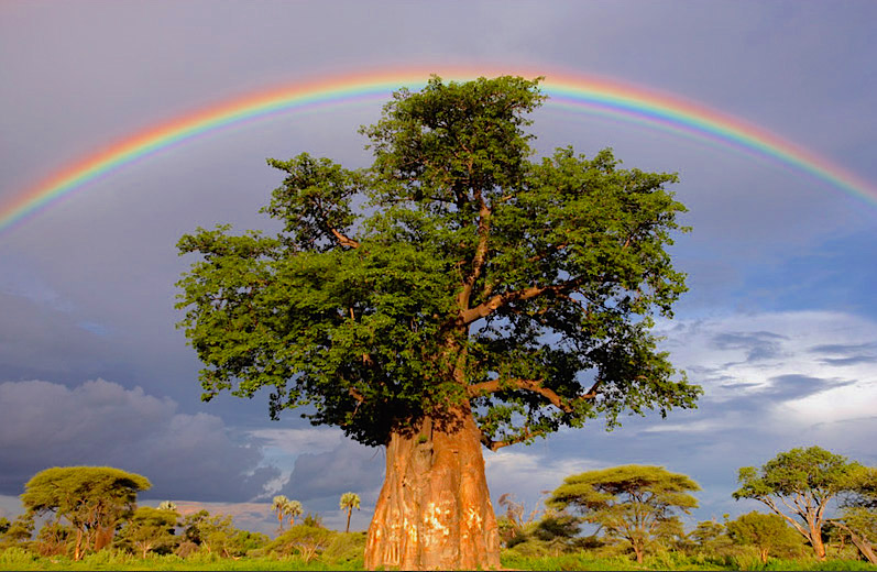 Baobab Tree with Rainbow.jpg