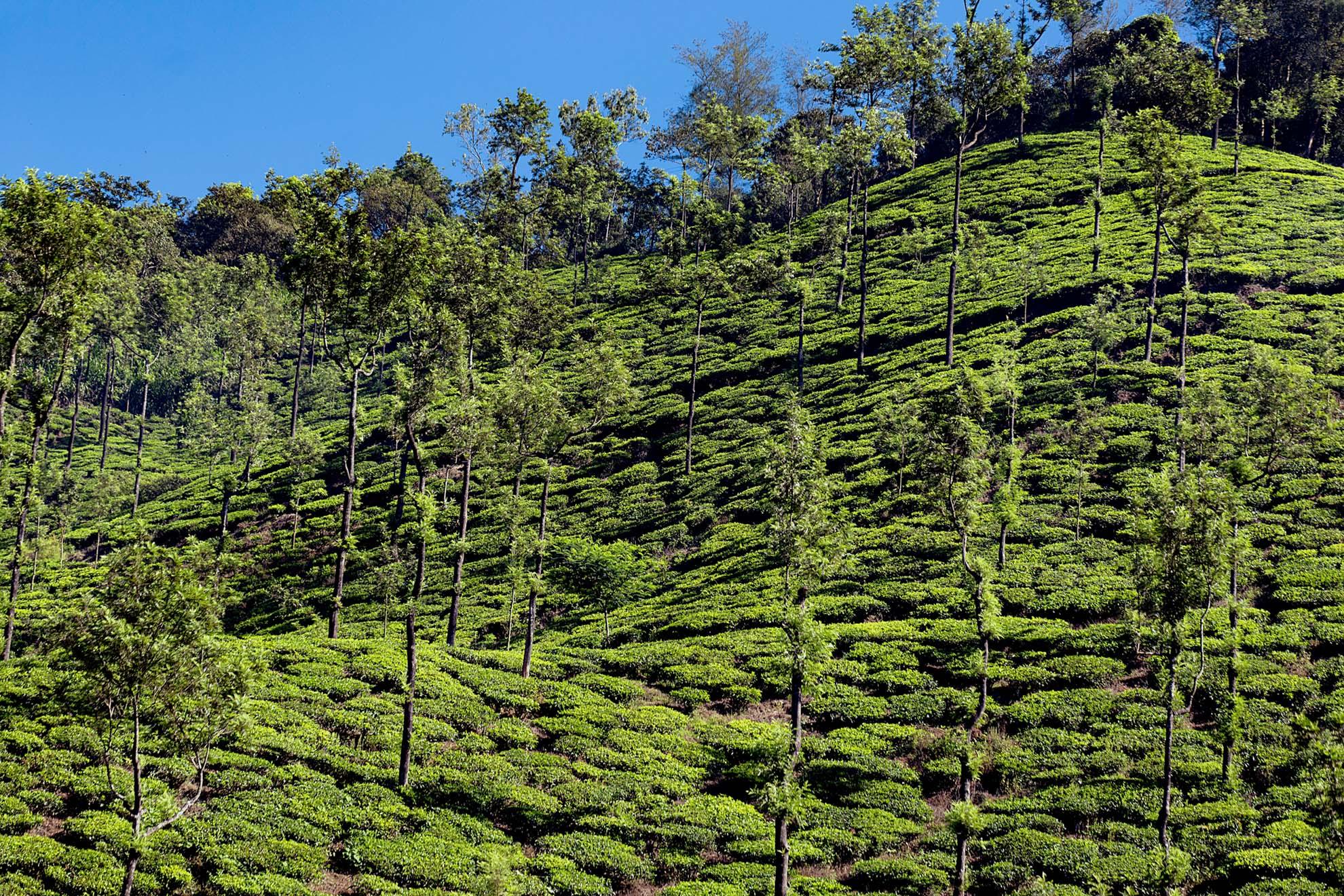 tea plants 2.jpg
