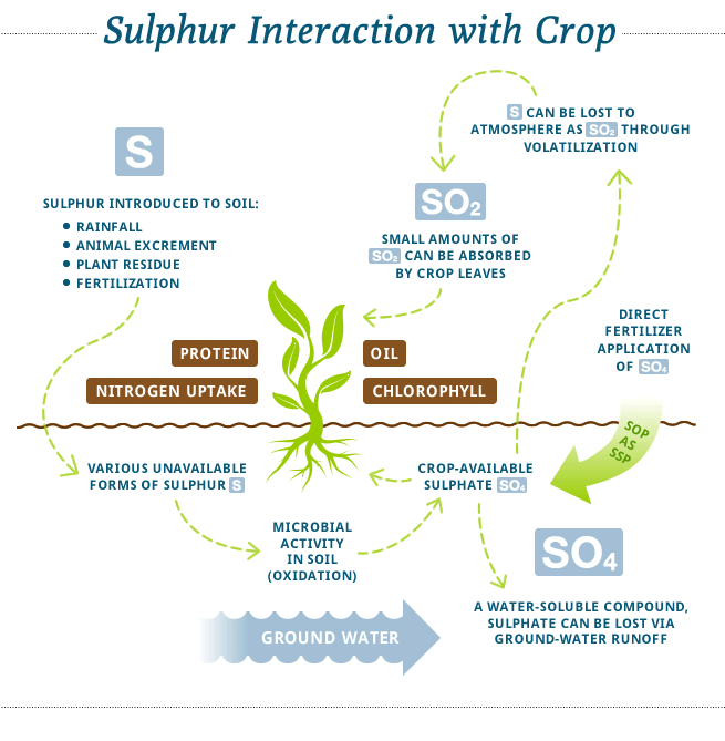 Sulphur Interaction with Crops