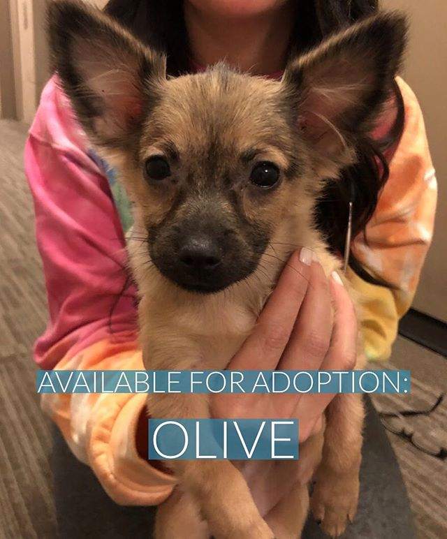 Remember Olive? We put a call out for fosters and our community responded with so much enthusiasm, we're excited to say that she's here in NYC and settling into her foster home! Thank you to ALL of you who were willing to be a part of our fostering team (there will always be future fostering opportunities here!) NOW we're looking for Olive's furever family. 🥰 This little girl is 4lbs and 8 weeks old. She is the bouncing, curious puppy you've been looking for; she loves to play fetch, be held, cuddle with her fave humans, and play with socks! (Who knew a tiny puppy carrying a sock across the room could be so stinkin' cute. 🧦) She has even taken to potty training on pee pads like a pro. Olive has had her first round of puppy vaccines and will need 2 more boosters, and she is intact until old enough to get spayed. Click the link in our bio to learn more about Olive or to fill out our adoption application - this tiny tot won't last!