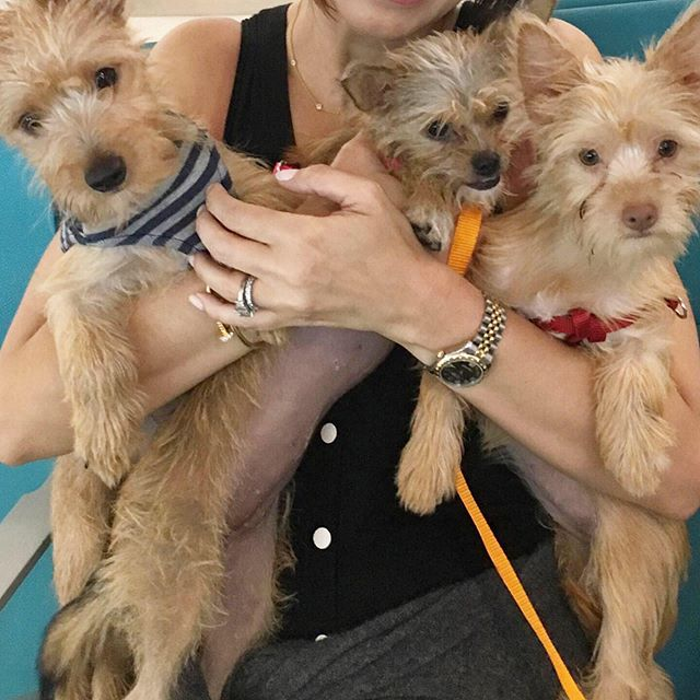 🚨 FOSTER OPPORTUNITY 🚨  Tonight we're welcoming PUPPIES! These sweet and scruffy satos are on their freedom flight and scheduled to land in NYC this evening. Becky and Buddy are 3 months old and 7-9lbs, Maggie is 6 months old and around the same size. All they'd known before their rescue was life in a cage. 💔 Whether you're interested in fostering or adopting, Step 1 is to fill out our application. Click the link in our bio or go to www.alrcares.com!