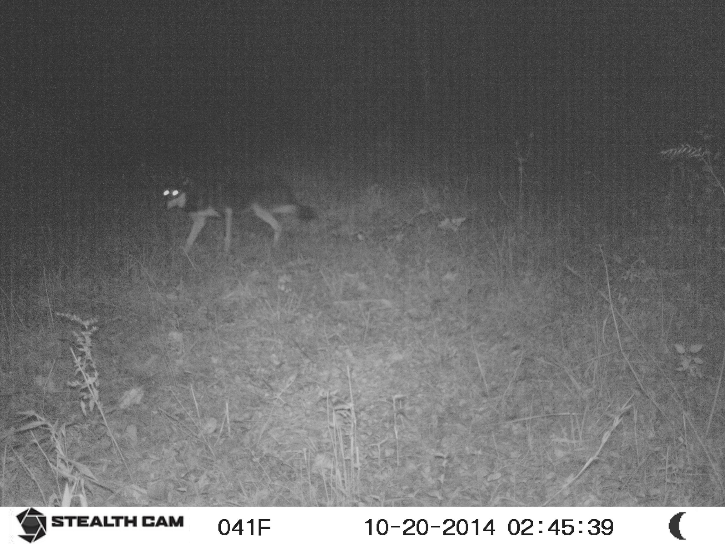 Wolf??? 21 Oct 15 SUNP0057.jpg