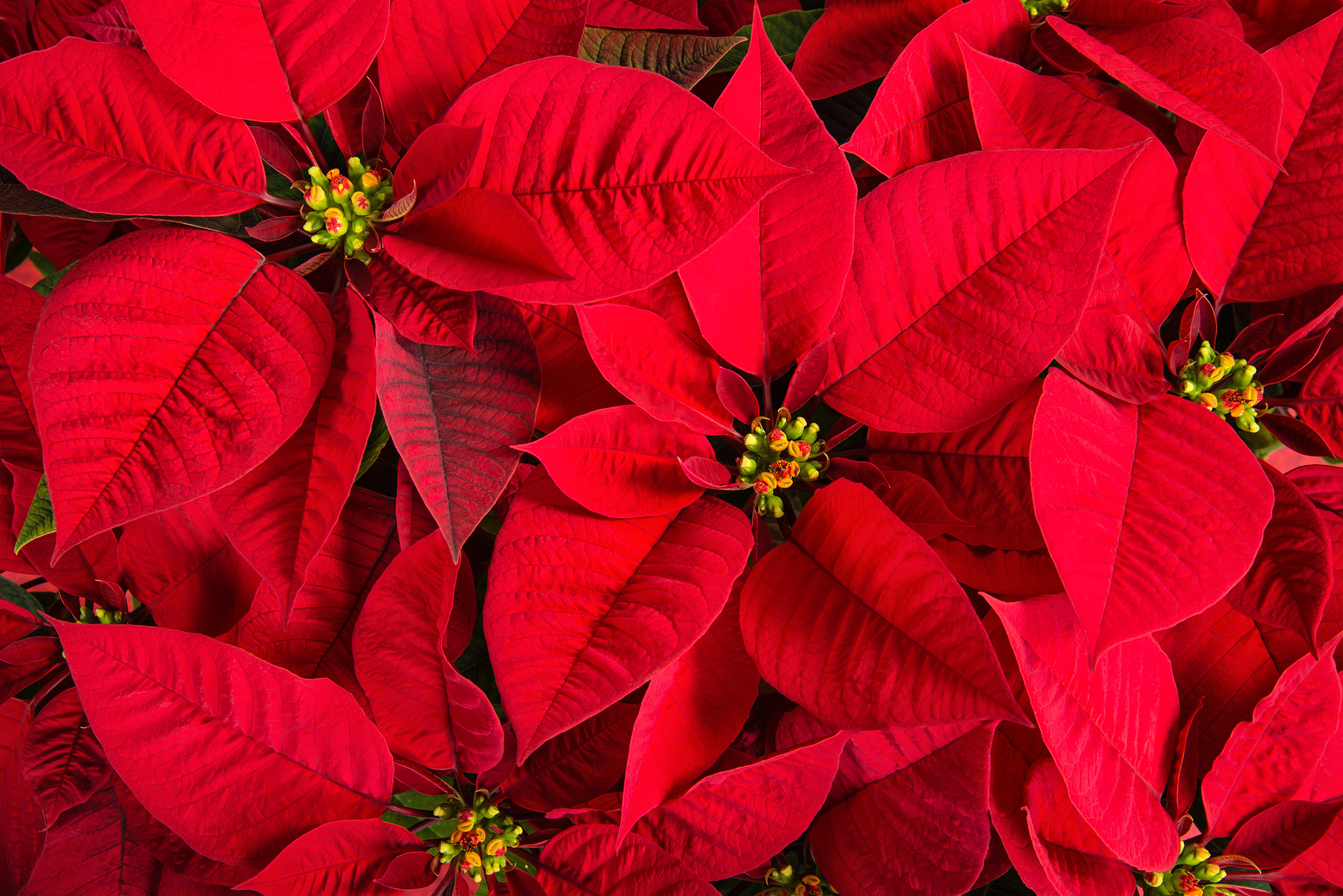 Poinsettia flowers can be harmful to small children if swallowed.