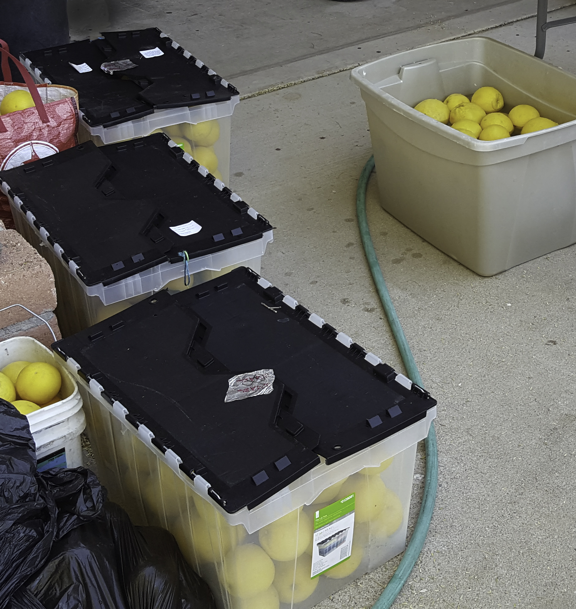 Before the grapefruits can be transported, they must be thoroughly washed.