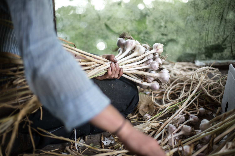 Bundling garlic after a big morning harvest. (British Columbia)