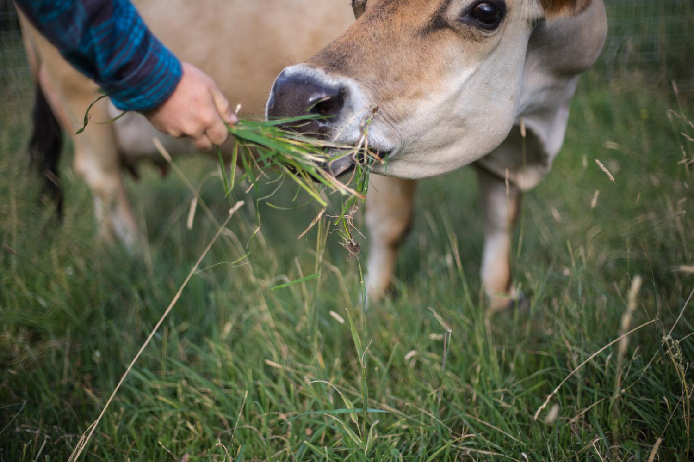 Feeding the cow before the morning chores. (Okanagan valley, Canada)