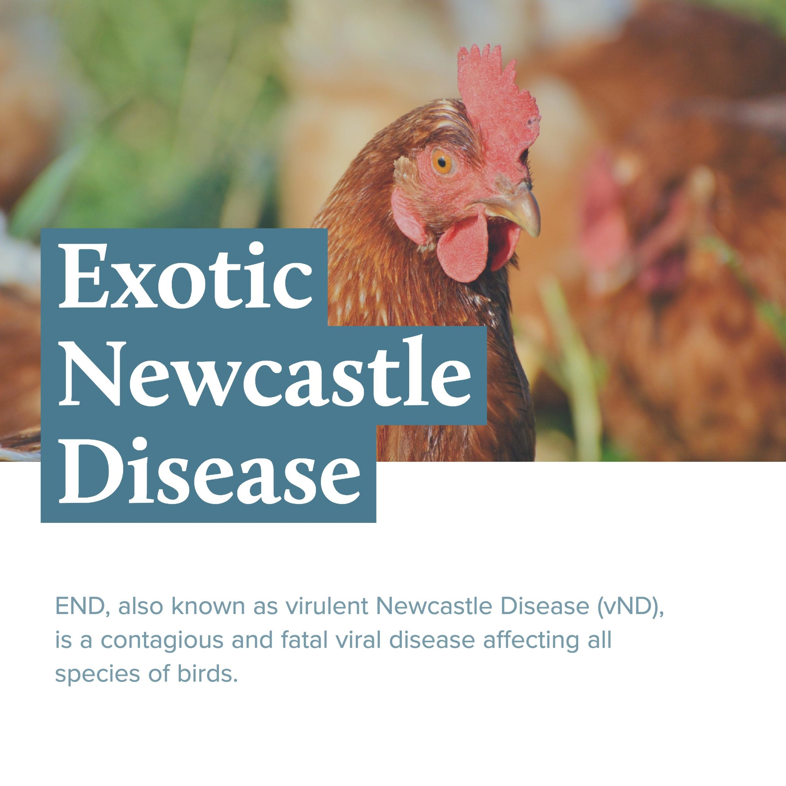 END, also known as virulent Newcastle Disease (vND), is a contagious and fatal viral disease affecting all species of birds.