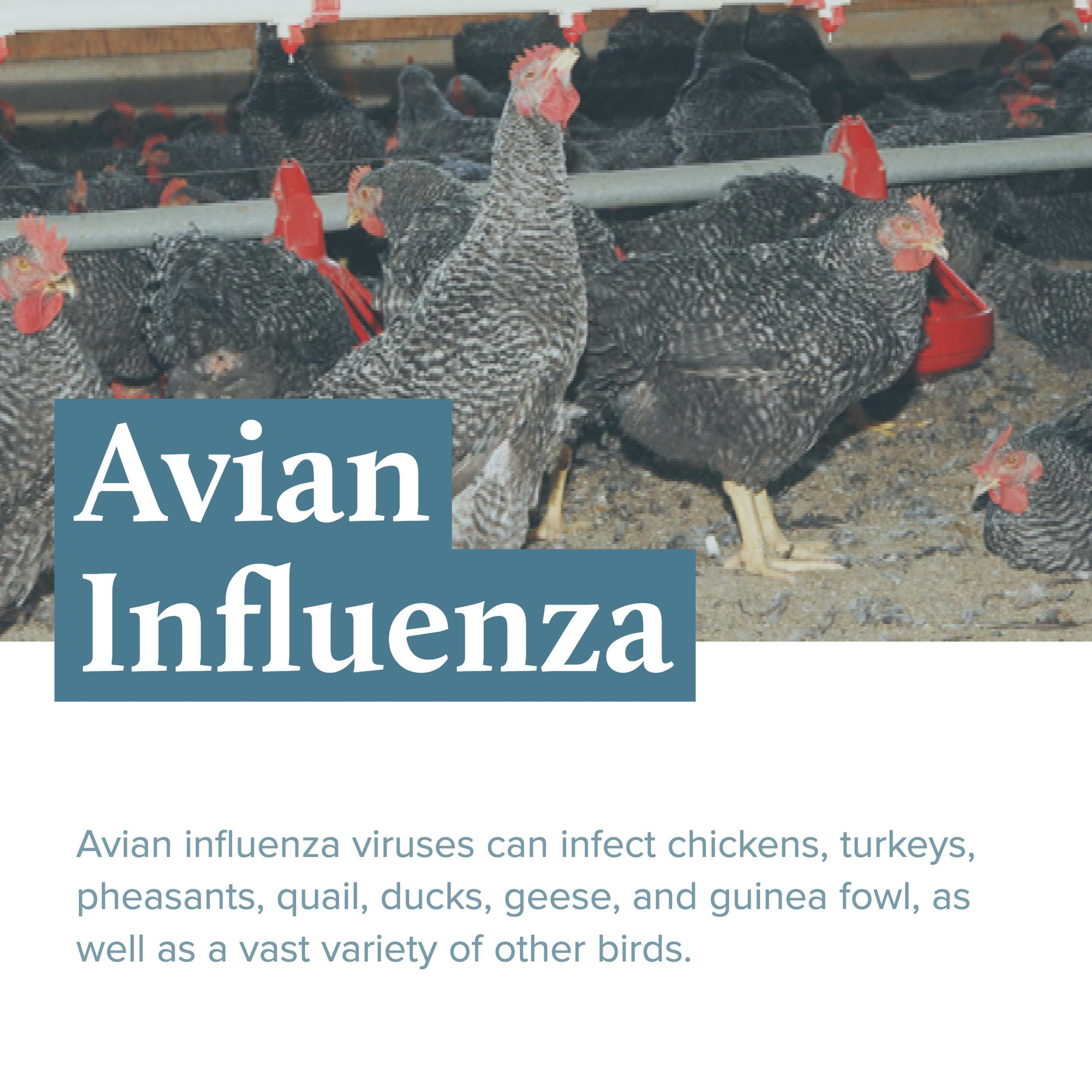 blog_avian-influenza_post-header.jpg