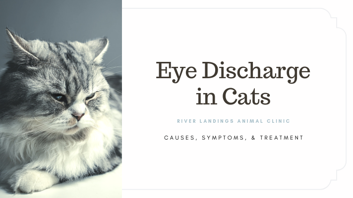 blog_ Eye Discharge Cats _banner.png
