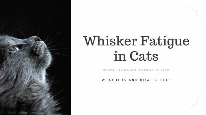blog_ Whisker Fatigue in Cats _banner.png