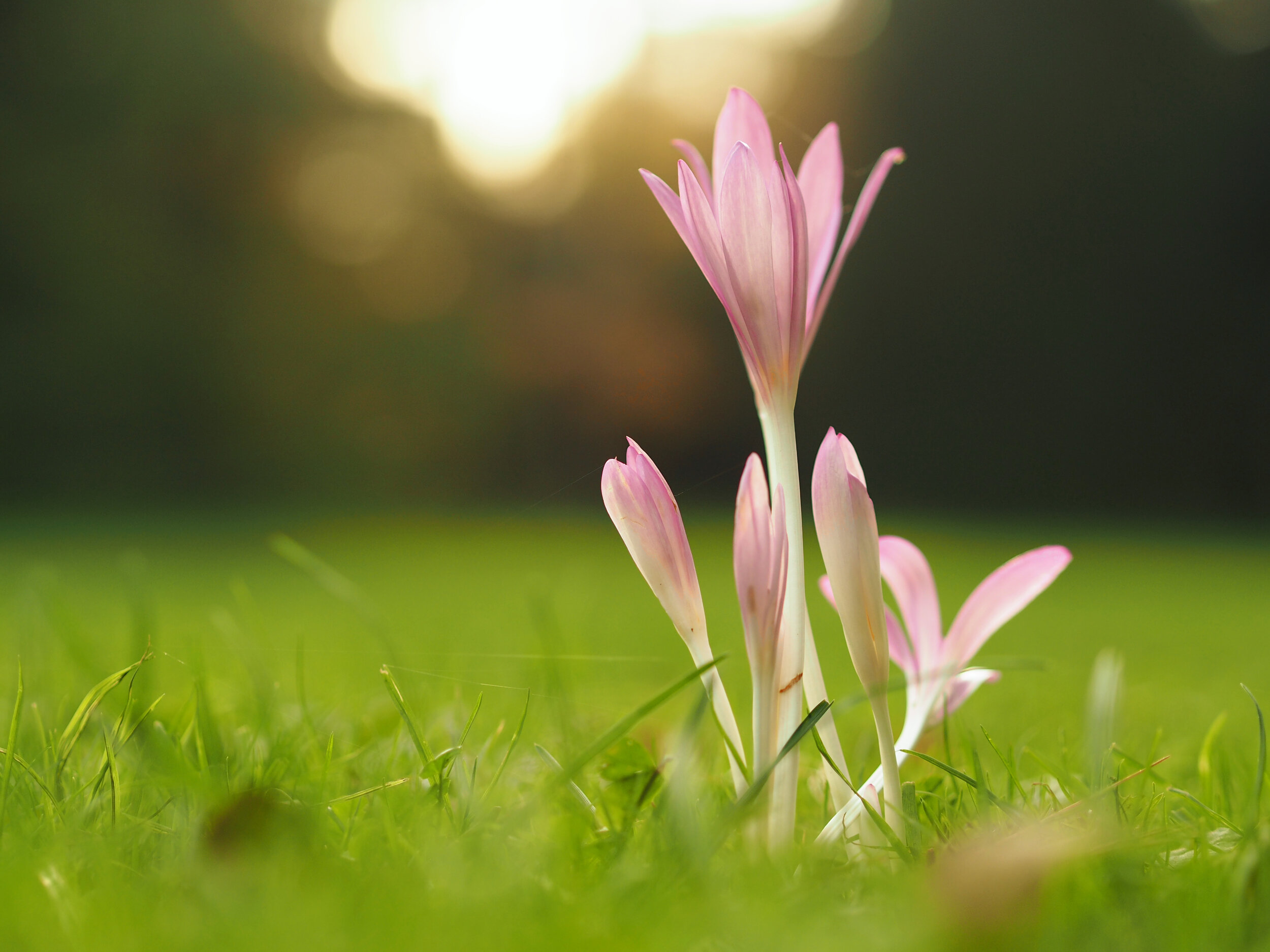Pet Poison Helpline   Autumn Crocus Toxicity to Dogs and Cats