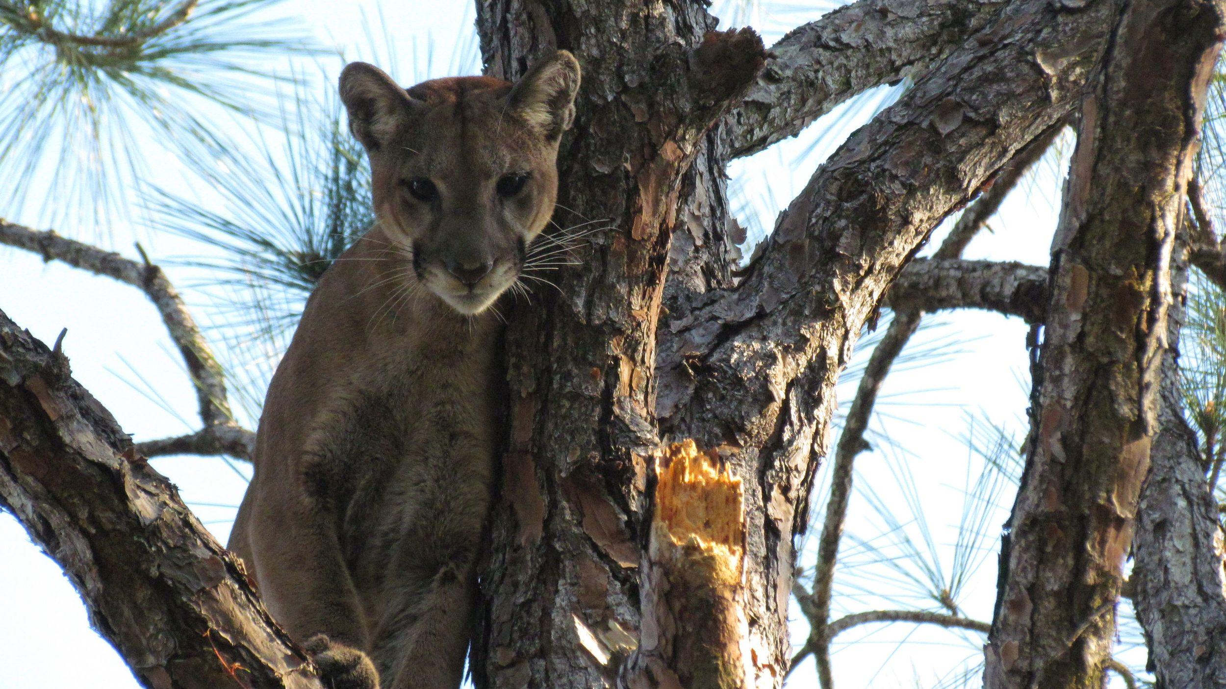 sold panther photos.jpg