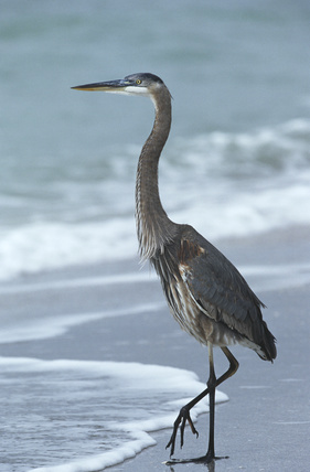 blue heron stands on one leg on beach