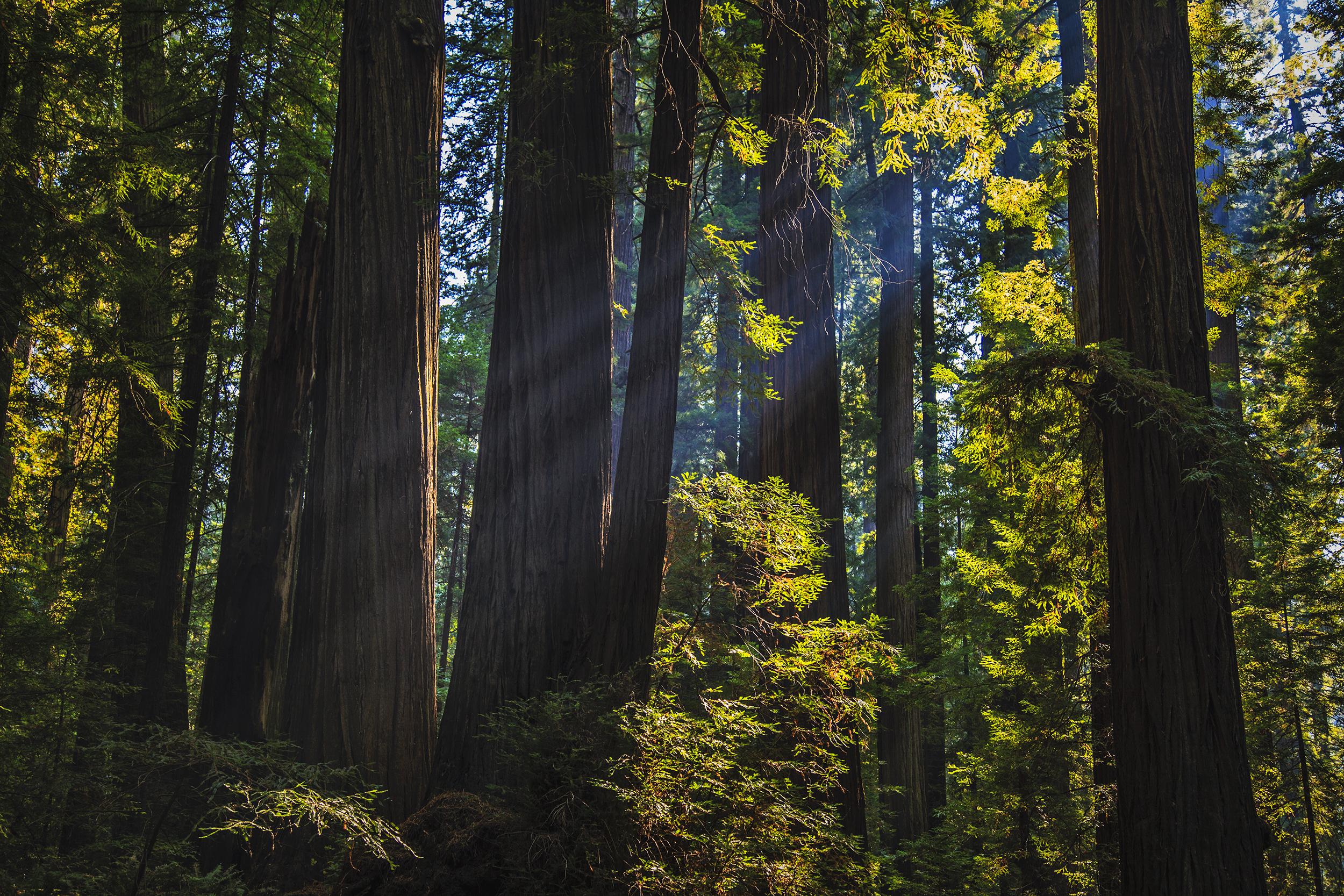 RedwoodsLight.jpg