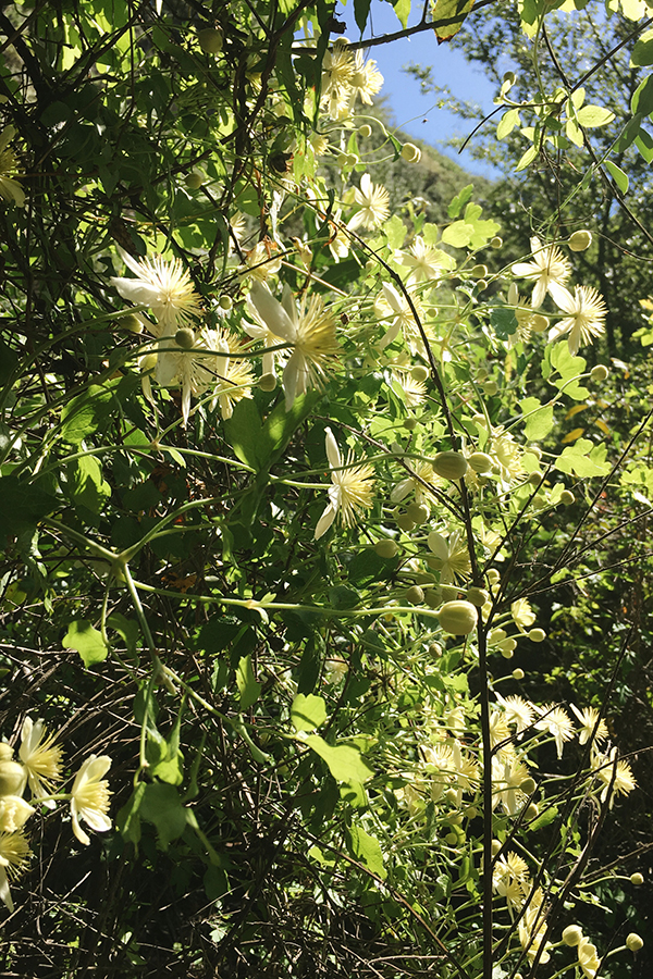 Clematis ligusticifolia,  Western White Clematis. The peppery leaves and stems were chewed by Native Americans to soothe sore throats and colds.
