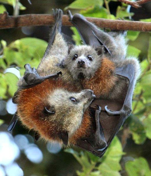 Baby bats drink milk, too!