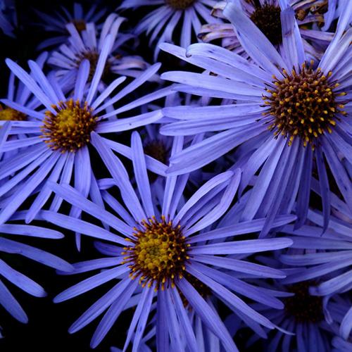 500-daisy-blu.jpg