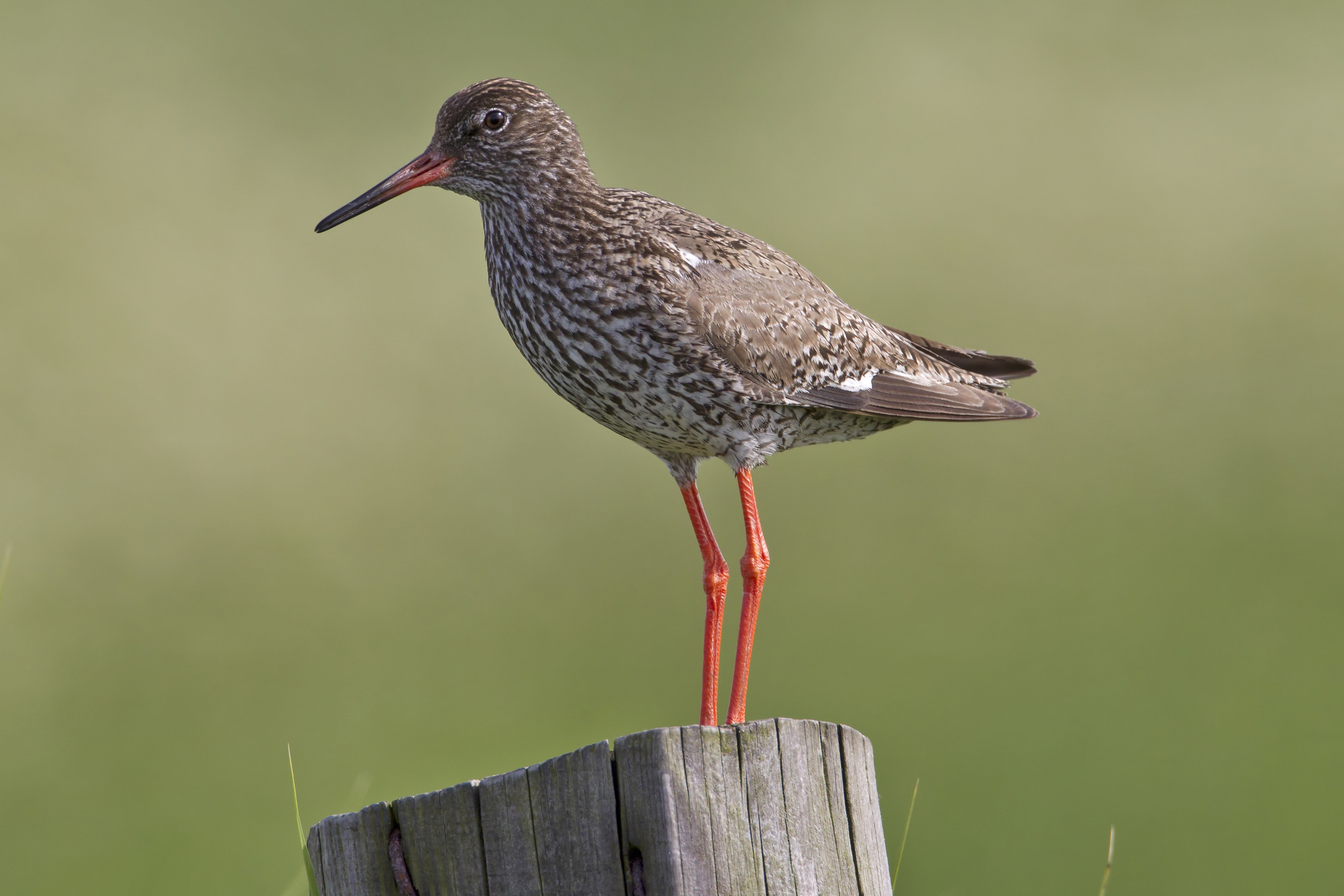 Common_Redshank_Tringa_totanus.jpg