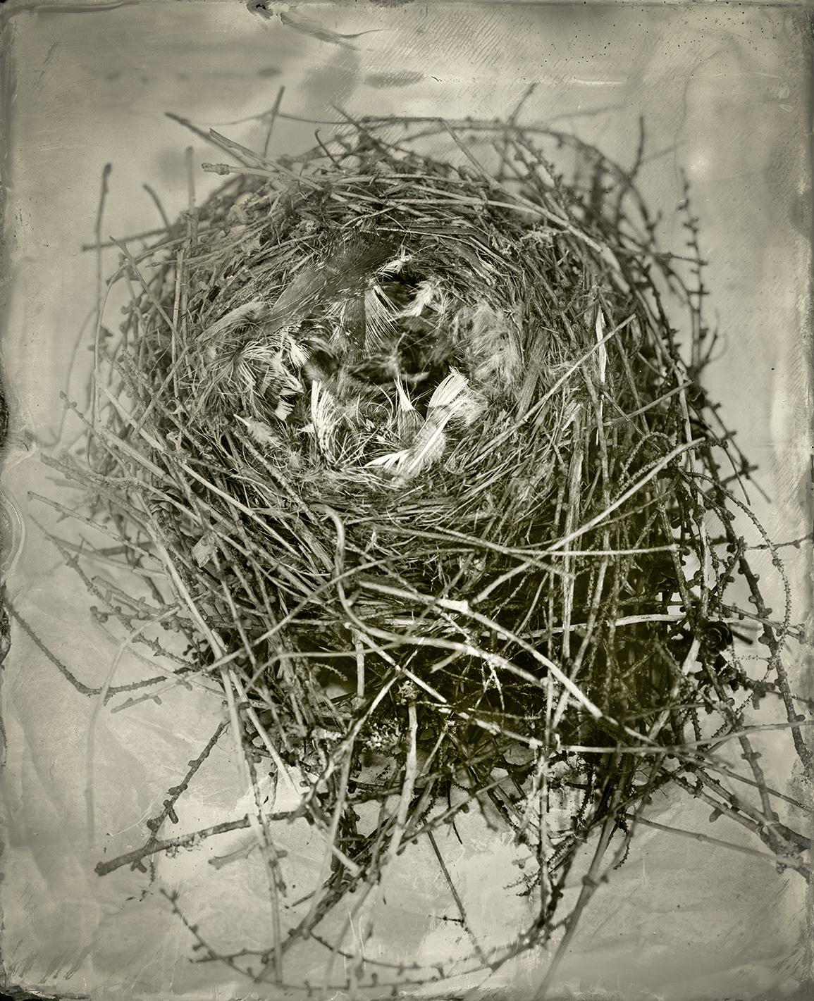 Perisoreus canadensis Nest