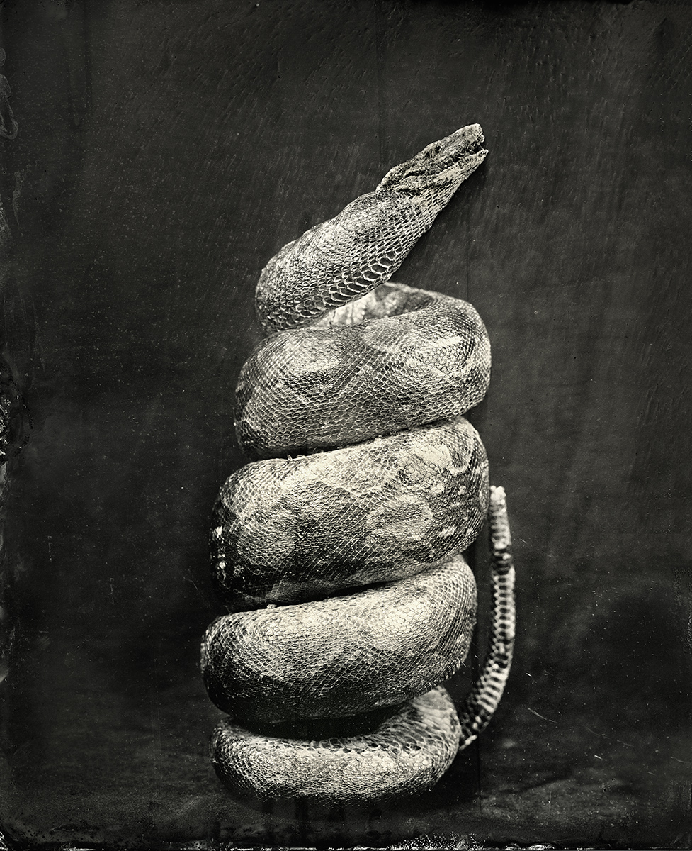 Coiled Snake, 2018