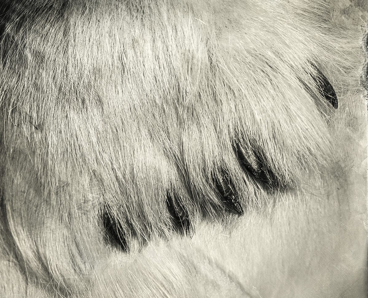 Polar Bear Claw, 2018