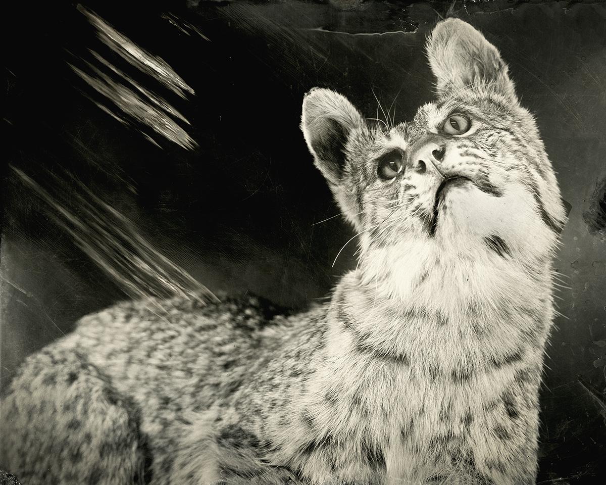 Lynx rufus, 2018