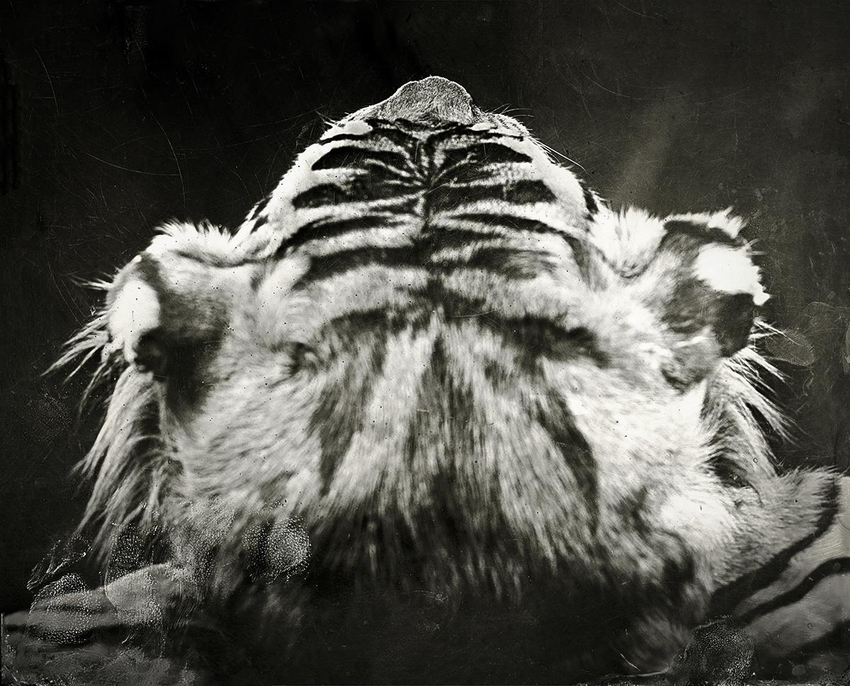 Tiger Head, 2018