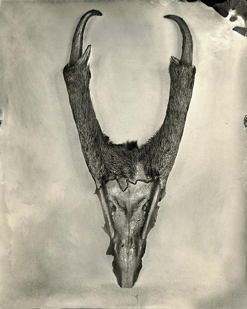 Muntiacus Deer, 2018