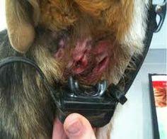 Horrible Shock Collar Injury