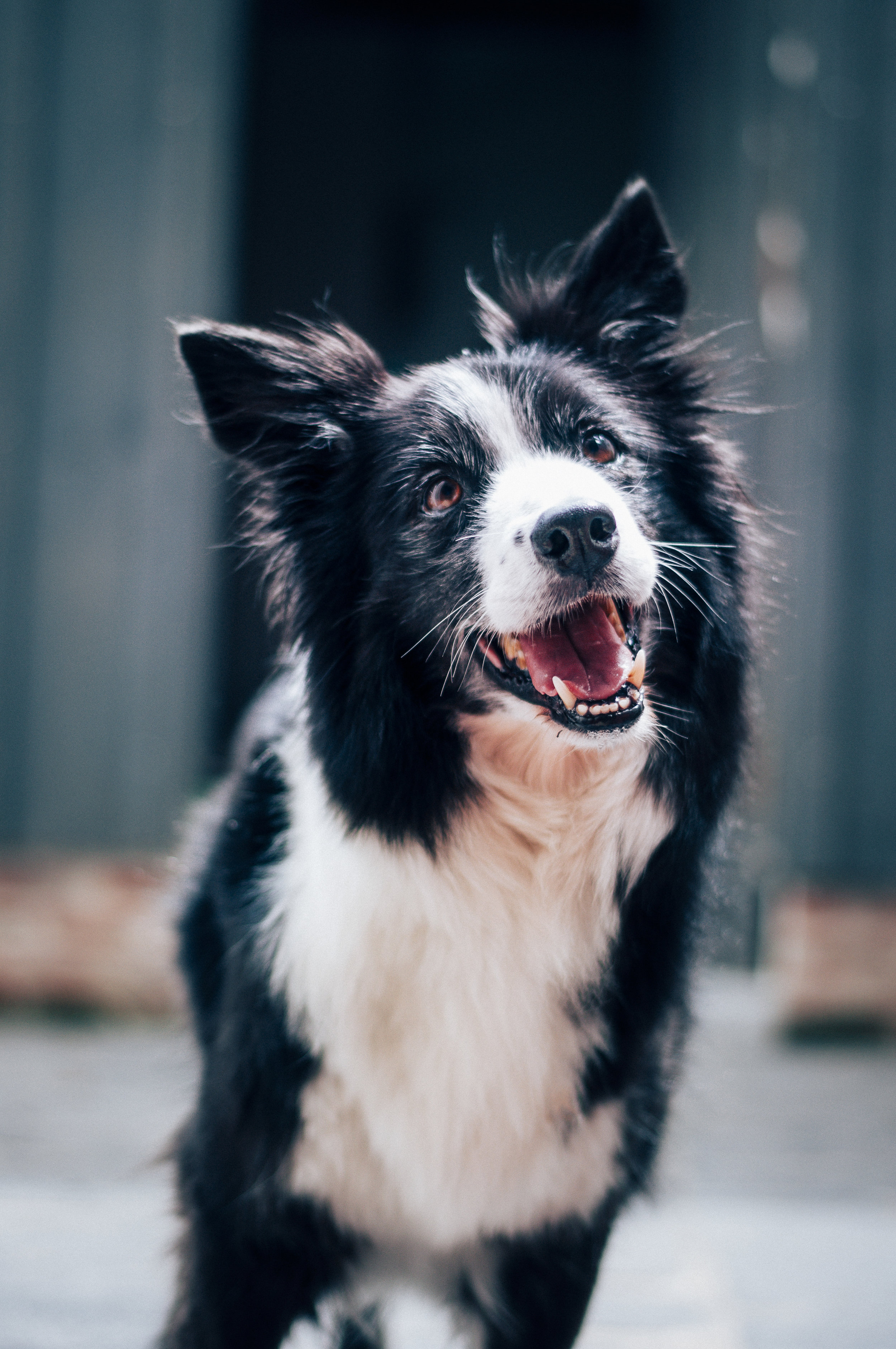 Border Collies can be one of the toughest breeds to raise -