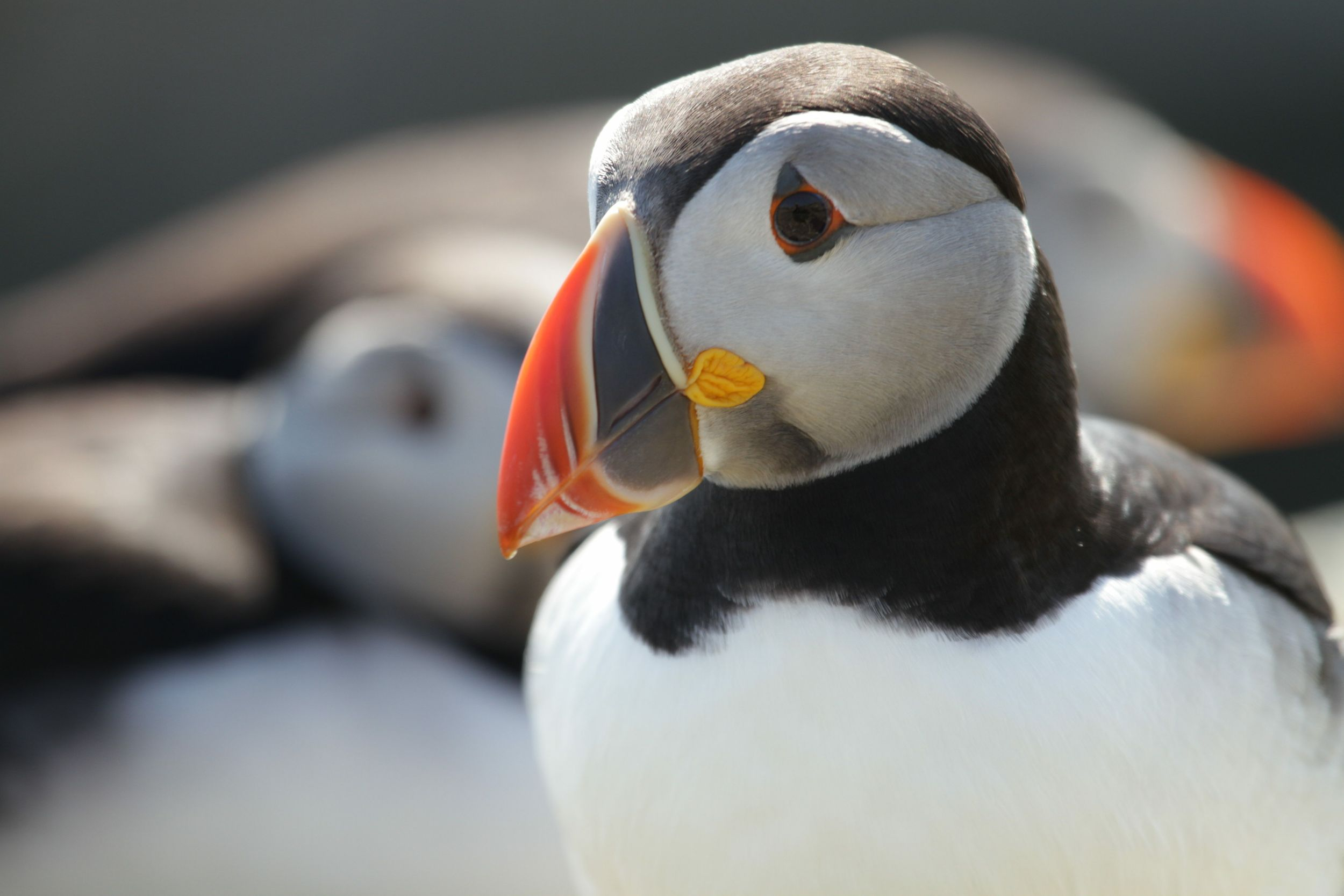 IMG_1596puffin_result.jpg