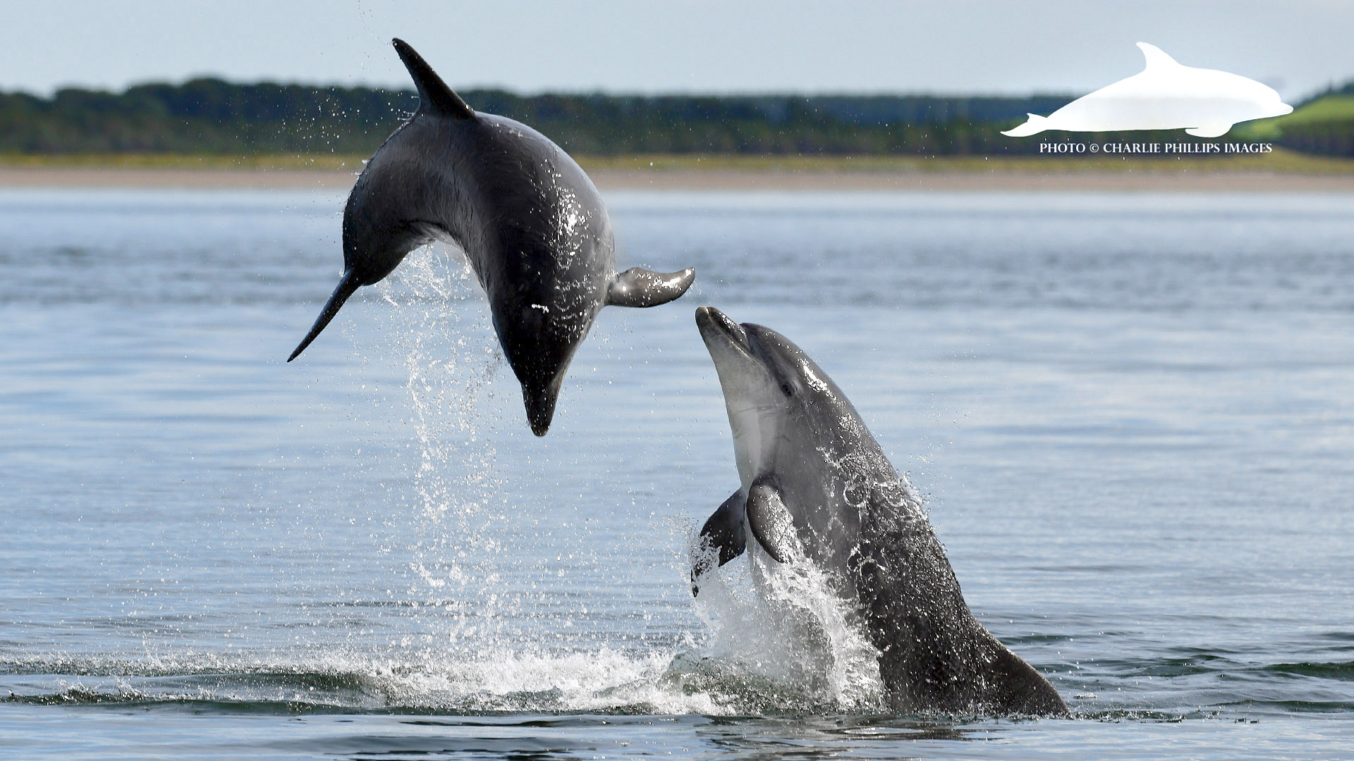CHARLIE AND LUNAR, RESPECTIVE SONS OF KESSLET AND MOONLIGHT, TWO OF THE WDC'S  ADOPTION DOLPHINS .COPYRIGHT CHARLIE PHILLIPS