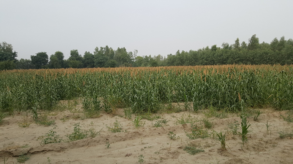 A view of tube well irrigated millet crop in the command area of proposed Nurpur Branch Canal