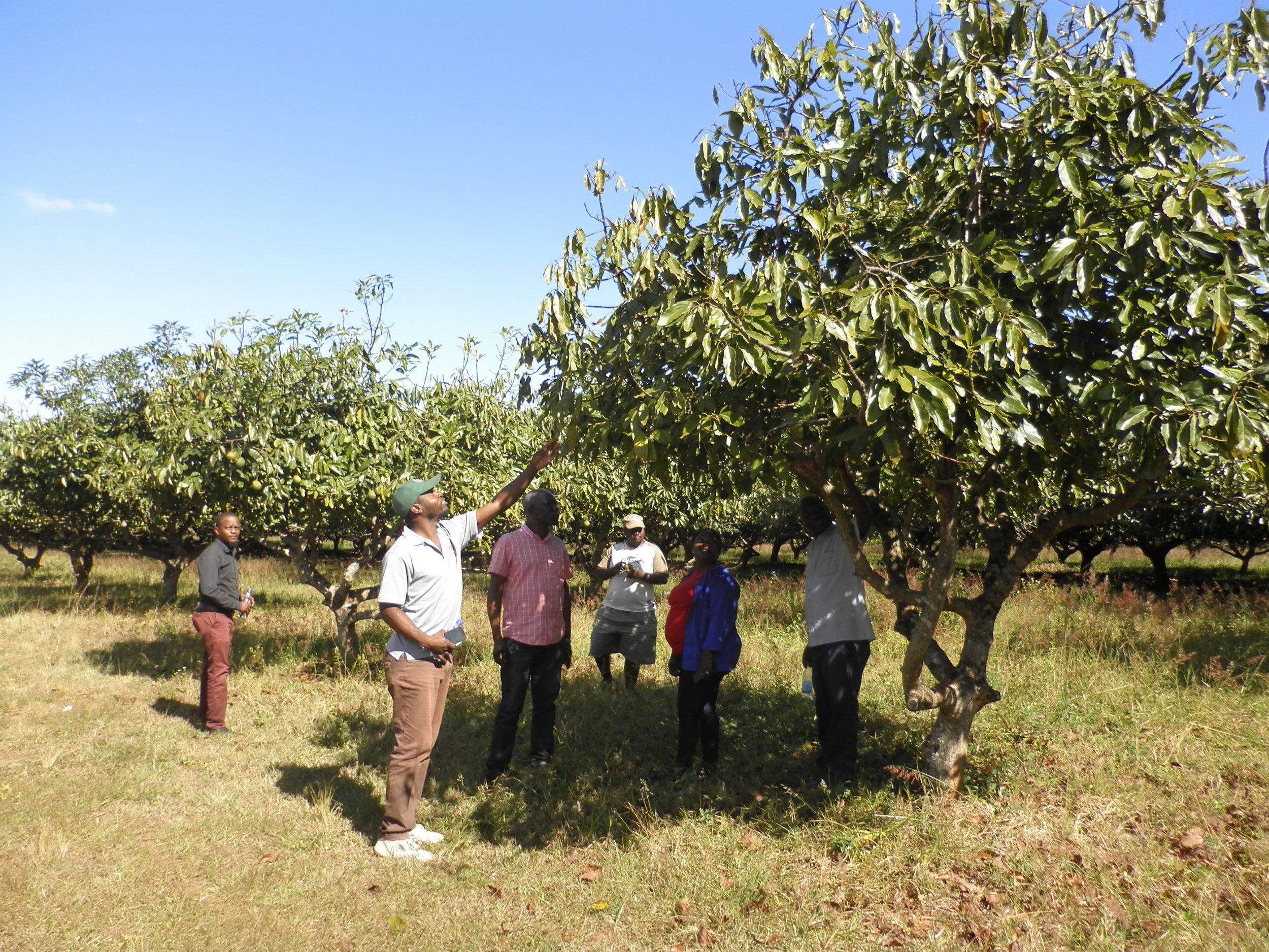 Avocado farmers in Chipinge