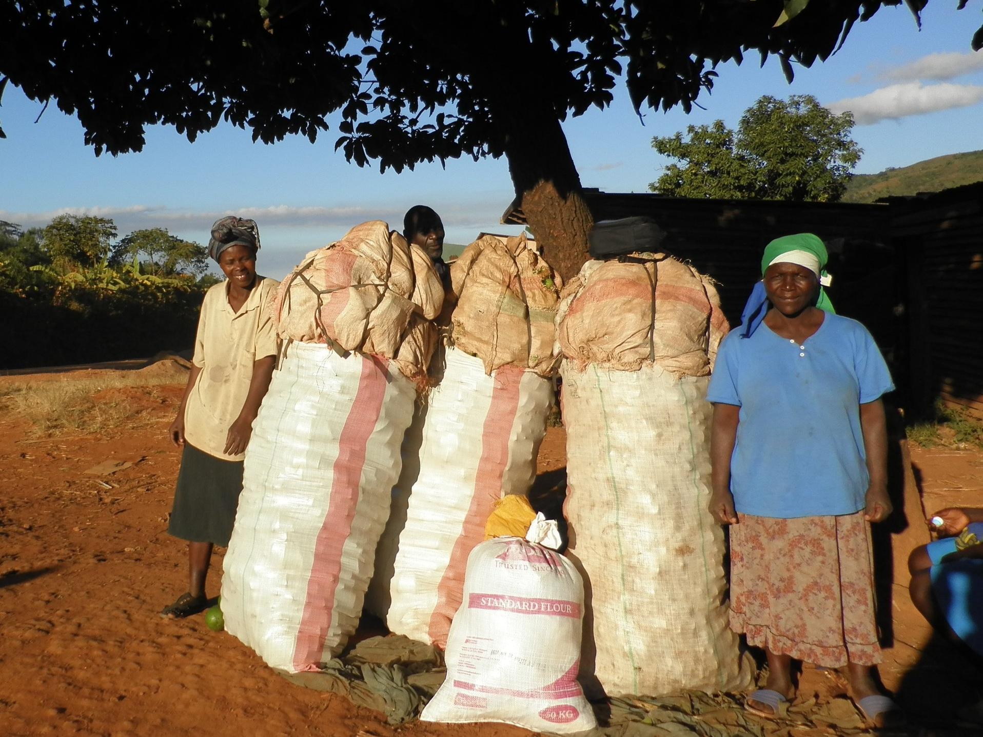 Mangwere Village Sweet Potatoes Growers in Ward 14 in Rusape